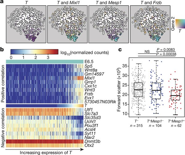 Transcriptional program associated with T induction in E6.5 epiblast cells. Image source: Nature